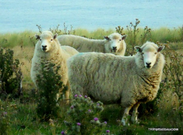 Ubiquitous - New Zealand Sheep