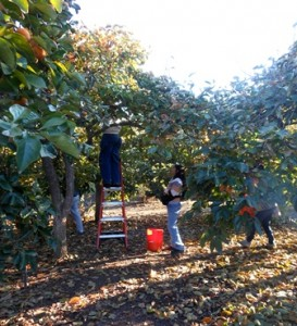 Family Persimmon Pickers
