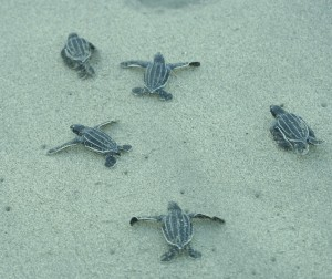 Baby Turtles sheltered by volunteerism programs.