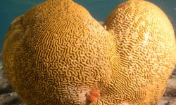 Brain Coral and Christmas Tree Worms by Dave Rudie