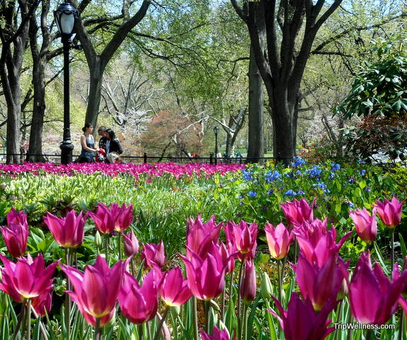 Central Park tulips