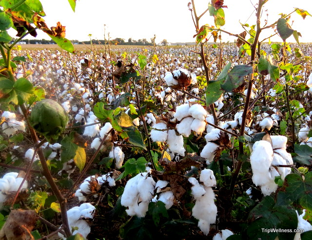 Alabama cotton field, trip wellness