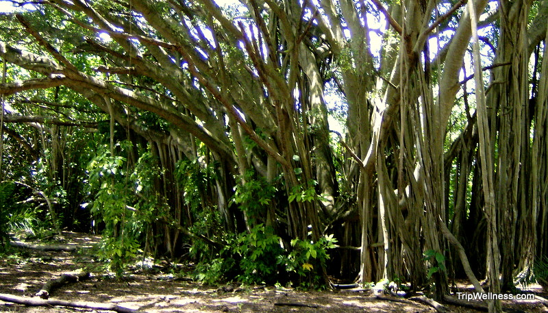 Hawaii's Banyan Trees.
