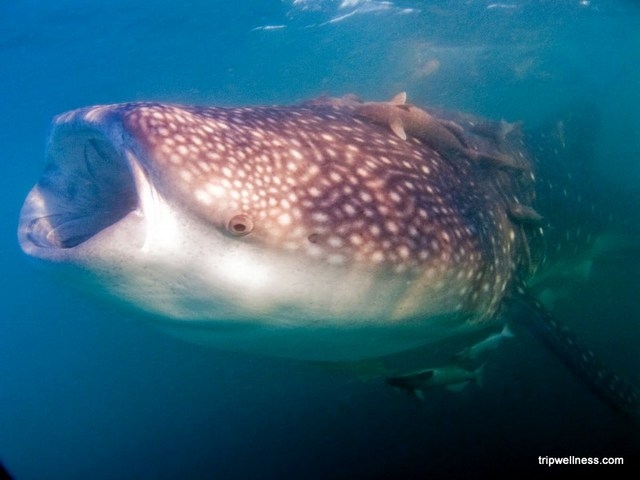 Swimming with Whale Sharks – Cancun Edition