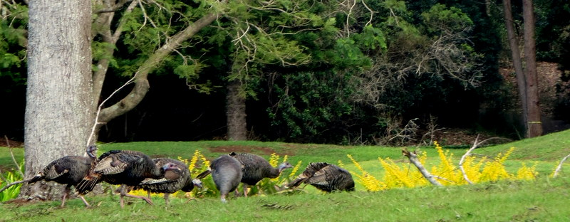 wild turkeys lanai
