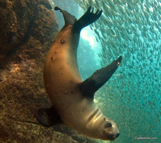 Sea Lion piercing the bait ball.