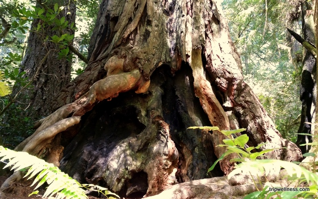 burlwood base, redwood tree
