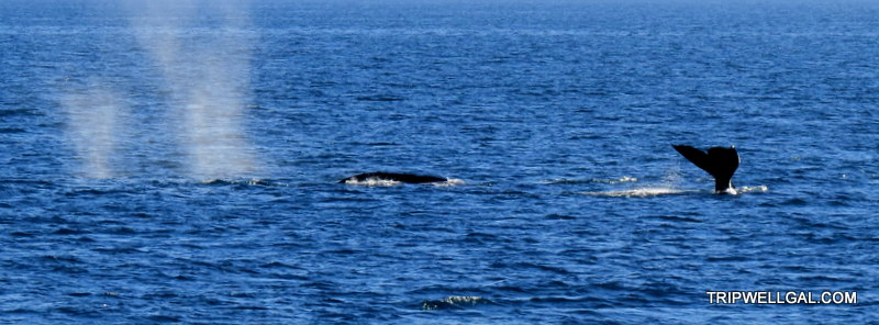 Whale watching in San Diego yields great spouting