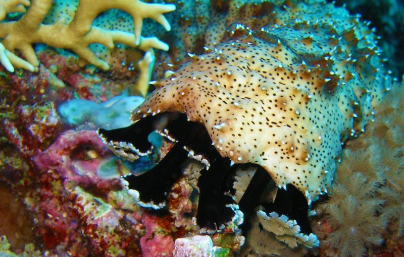 Sea Cucumber feeding