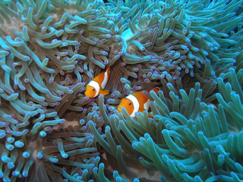Nemo look alikes in the UNESCO World Heritage site, Tubbatha Reef