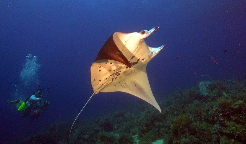 Manta Ray in the UNESCO World Heritage site, Tubbatha