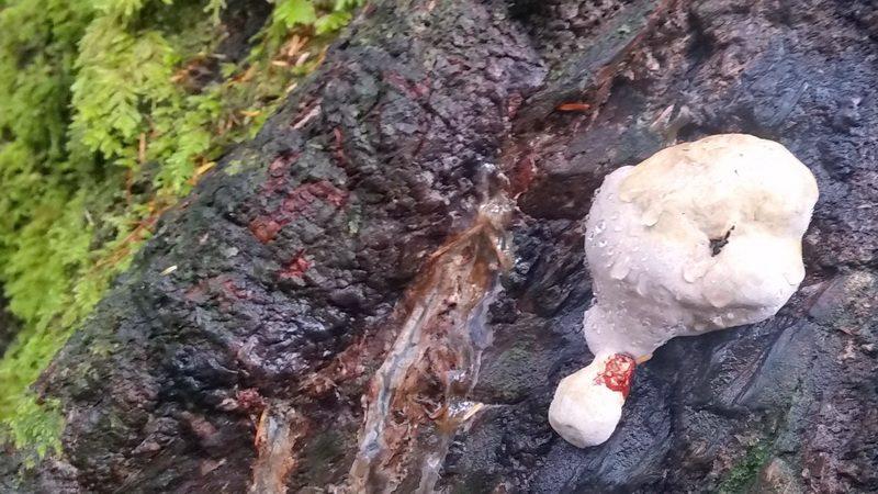 mushrooms on trees are sometimes edible mushrooms