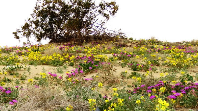 carpet of desert wildflowers