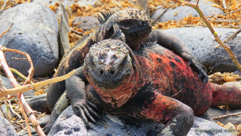Land iguanas aren't shy or aggressive in the Galapago Islands