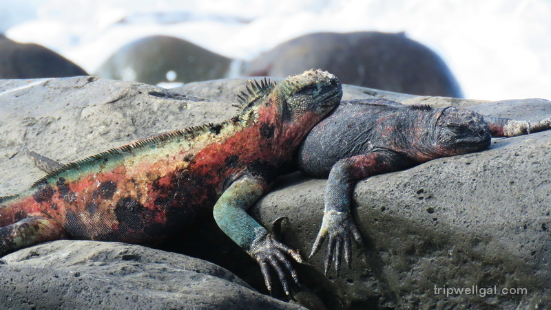 Land Iguana's are one spectacular species you'll see when you visit the Galapagos Islands