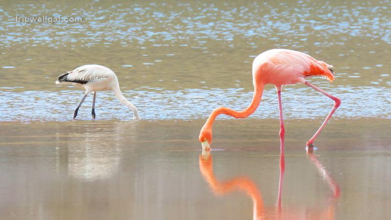 Flamingos dining in an interior lagoon.