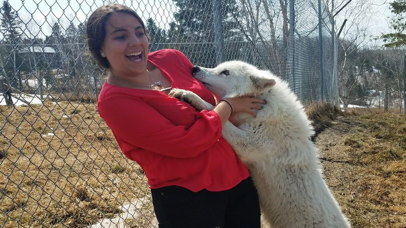 Getting a hug from Luna, the Artic Wolf on a farm vacation in northern Quebec