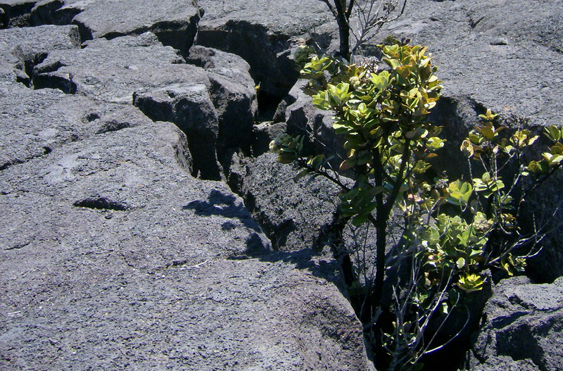 Determined plants sprouting between slabs of cooled lava