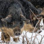 A culinary culture collision:Porchetta, a Hungarian pig and a South Korean Chef