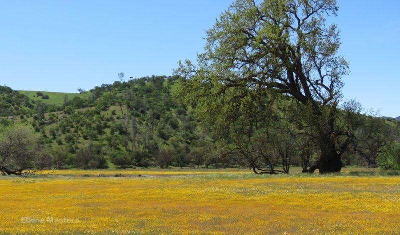 Fields of flowers west of Carrizo Plain