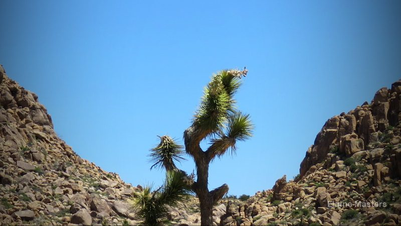 A blooming Joshua Tree stars in a wonderful scenic view