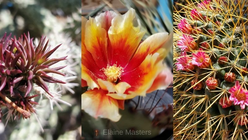 Cactus flower collage from the Palm Desert area.