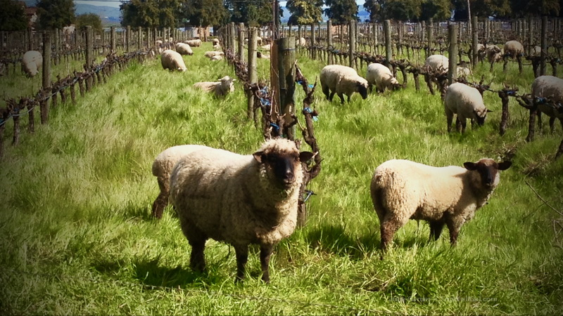 Wooly weeders in the vineyard at Cline Cellars