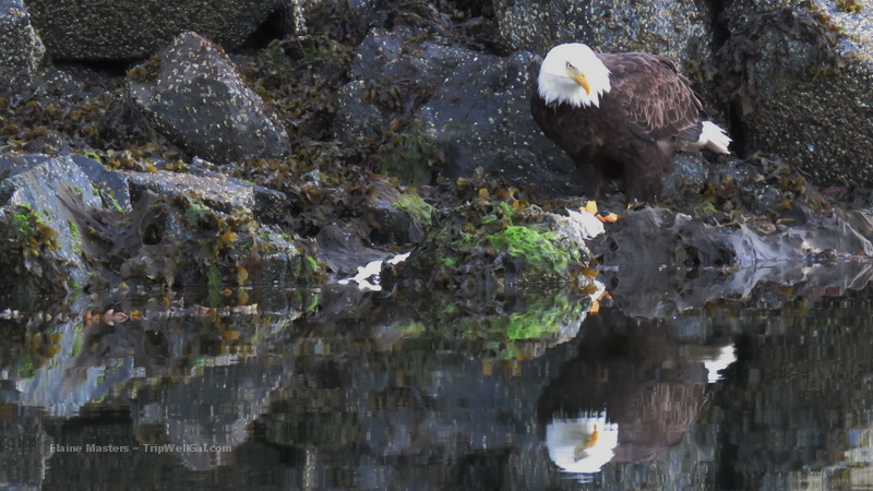 Eagle in Ketchikan hunting for breakfast near the fishing boats.