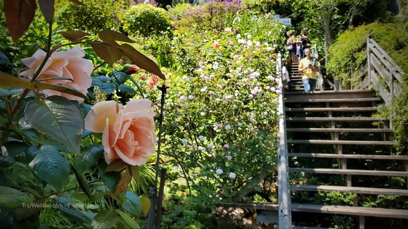 Rose in the Grace Marchant Garden on the Filbert Stairs