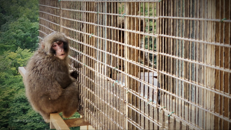 Monkey feeding time near Kyoto